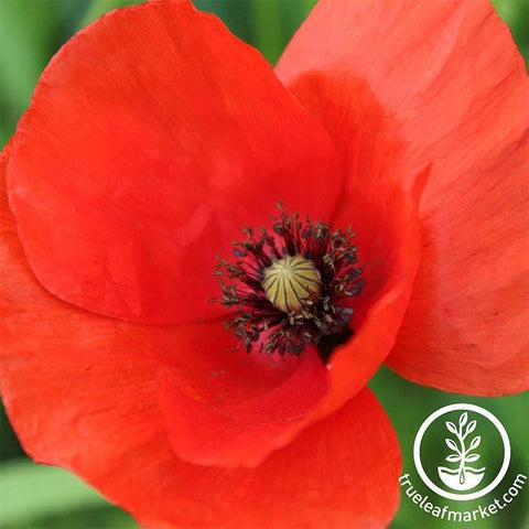 Poppy seeds flowering herbaceous plants corn poppy seeds american legion mightylinksfo