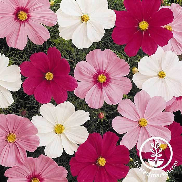 Cosmos Sonata Mix Garden Seeds