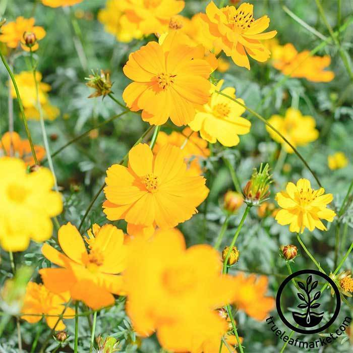 Cosmos Sunny Series Gold Flower Seed