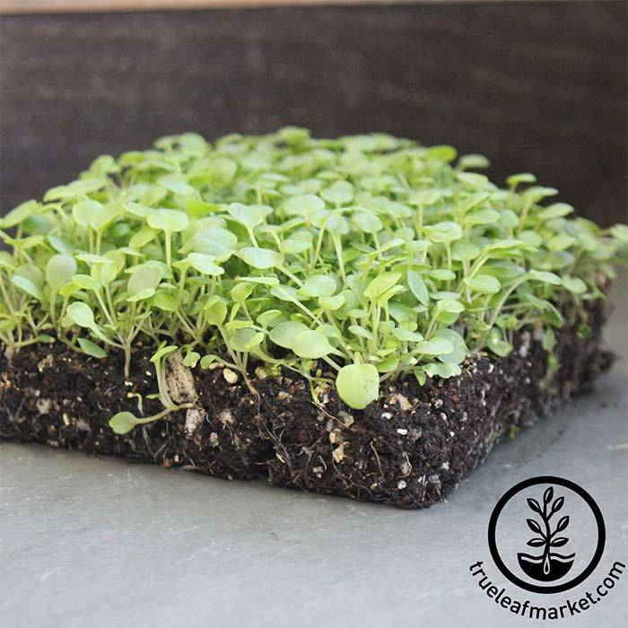 Cress - Upland - Microgreens Seeds