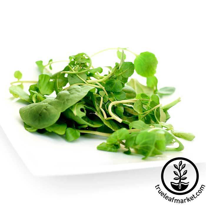 Non GMO Grown In USA 100/% Organic UPLAND HEIRLOOM 300 Cress Seeds Seeds
