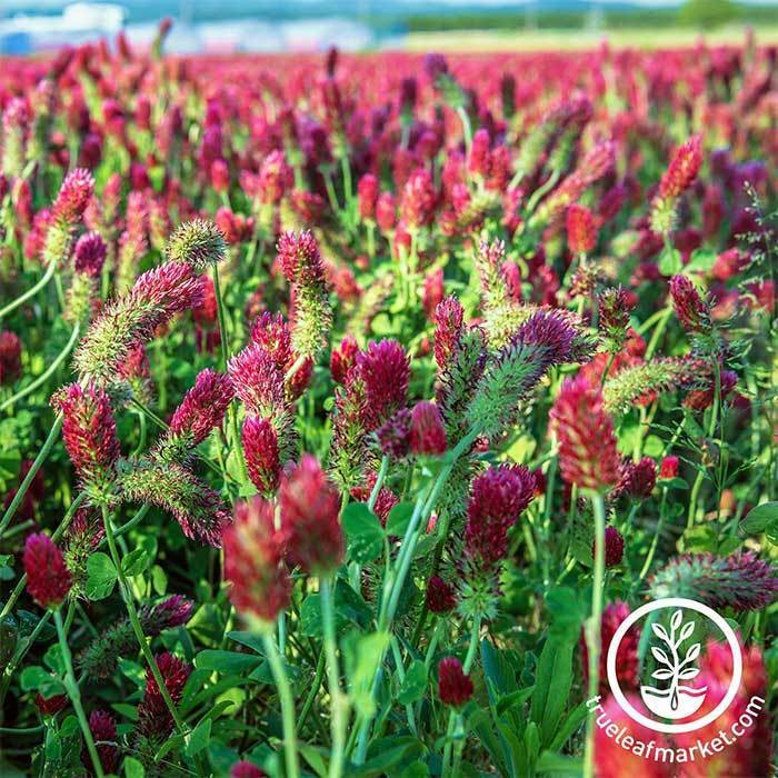 Crimson Clover - Organic - Cover Crop Seeds