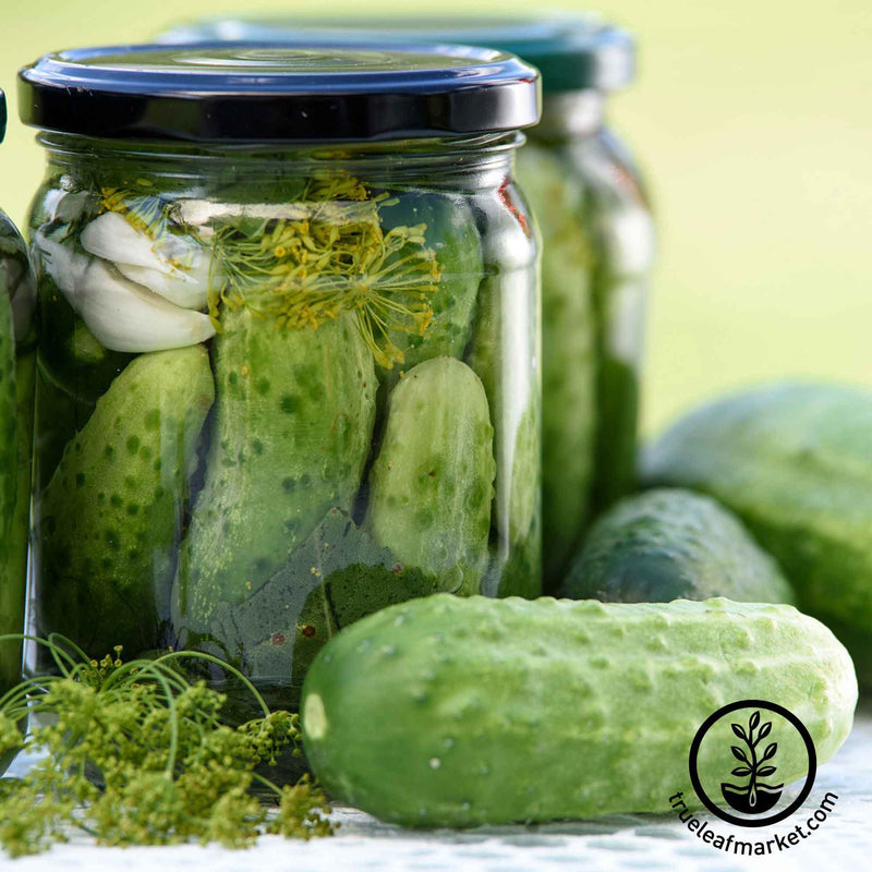 homade pickles cucumber