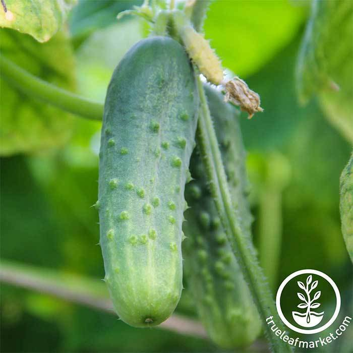 Cucumber - Pickling - Boston Pickling Garden Seed
