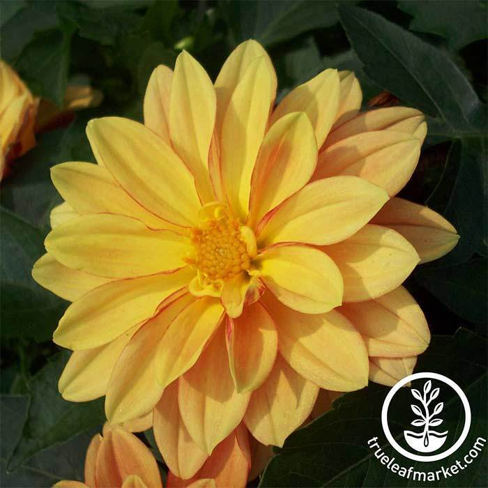 Dahlia Figaro Series Orange Shades Seeds