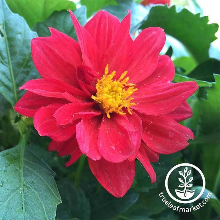 Dahlia Figaro Series Red Flower Seed
