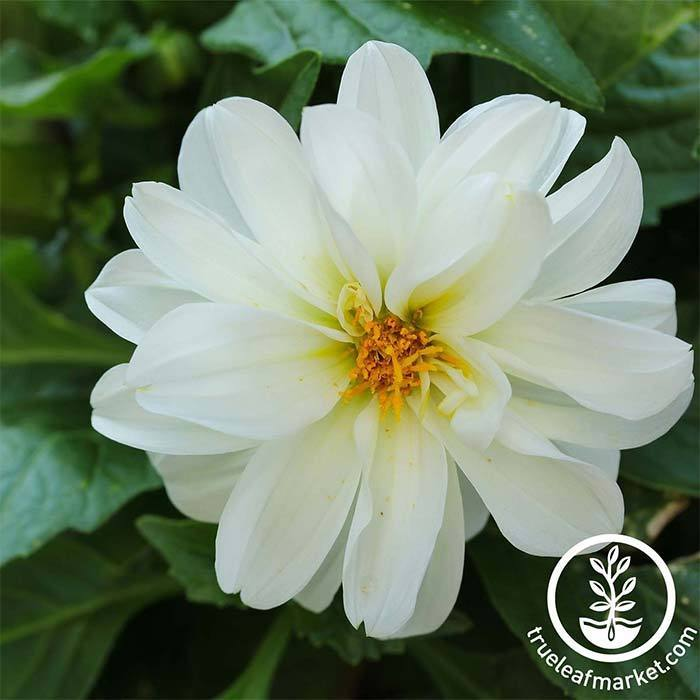 Dahlia Figaro Series White Seeds