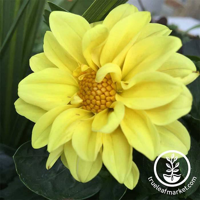 Dahlia Figaro Series Yellow Shades Flower Seeds