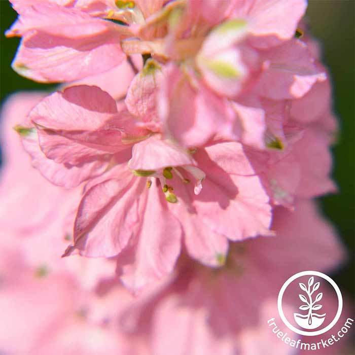 Delphinium Magic Fountains Series Cherry Blossom Seed