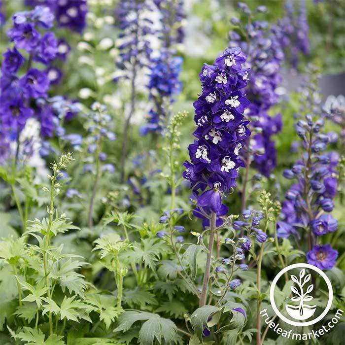 Delphinium Magic Fountains Series Sky Blue Improved Seed