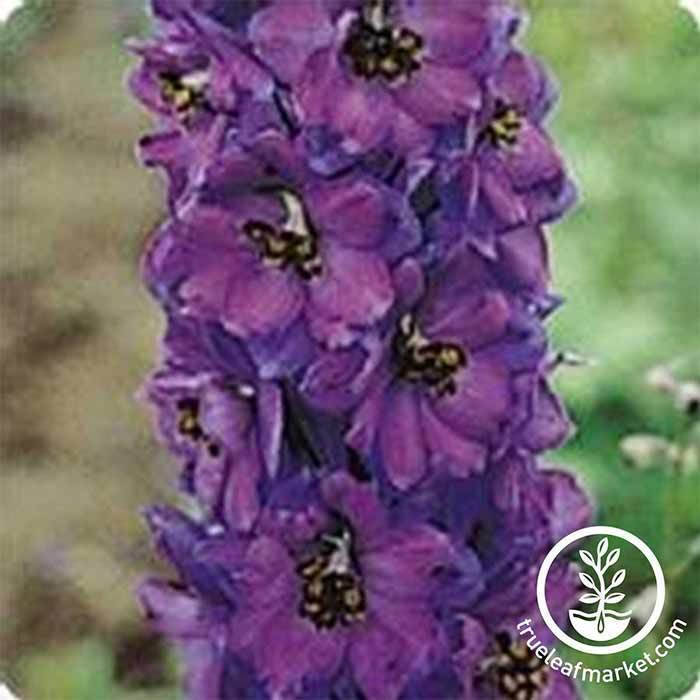 Delphinium Pacific Giant Series Black Knight Seed