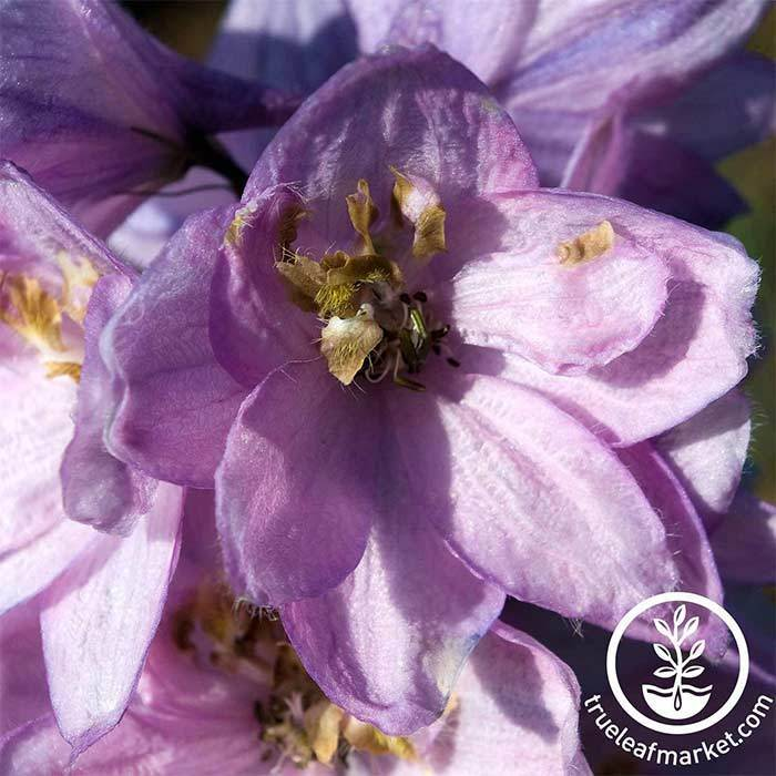 Delphinium Pacific Giant Series Guinevere Seed
