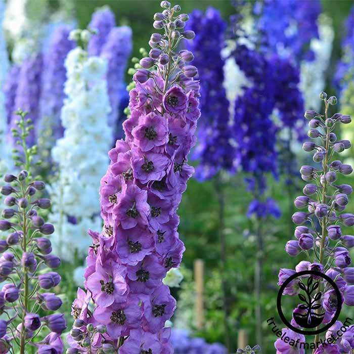 Delphinium Pacific Giant Series Round Table Mix Seed