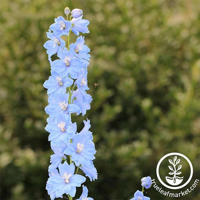 Delphinium Pacific Giant Series Summer Skies Seed
