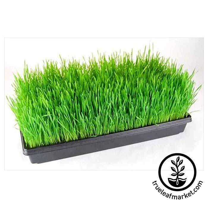 Tray of Wheatgrass