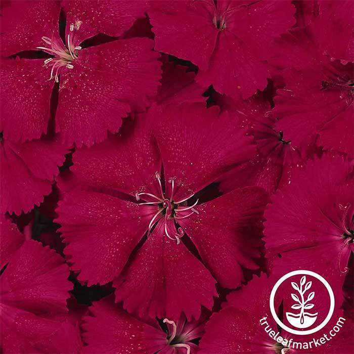 Dianthus Floral Lace Series Cherry Seed