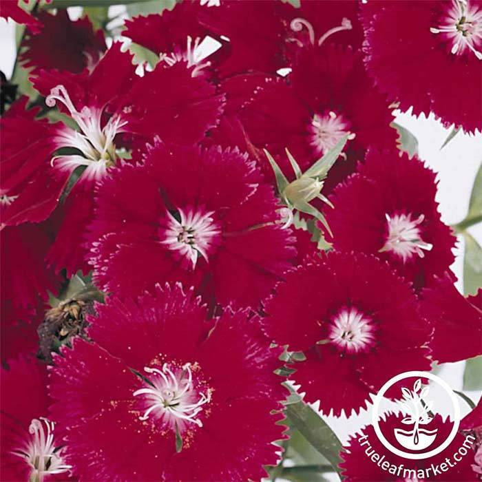 Dianthus Floral Lace Series Crimson Seeds