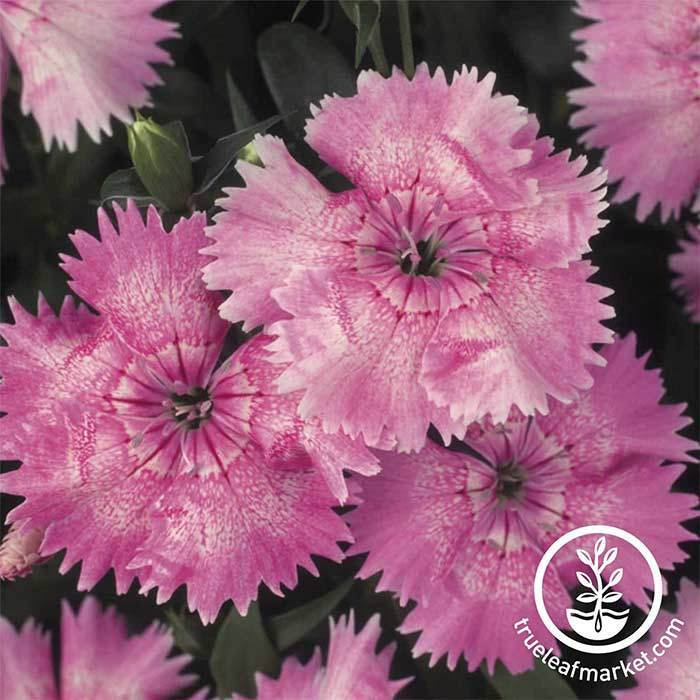 Dianthus Floral Lace Series Light Pink Seed