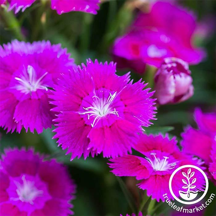 Dianthus Floral Lace Series Lilac Seed