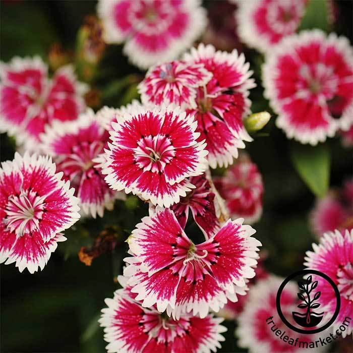 Dianthus Floral Lace Series Violet Picotee Seed