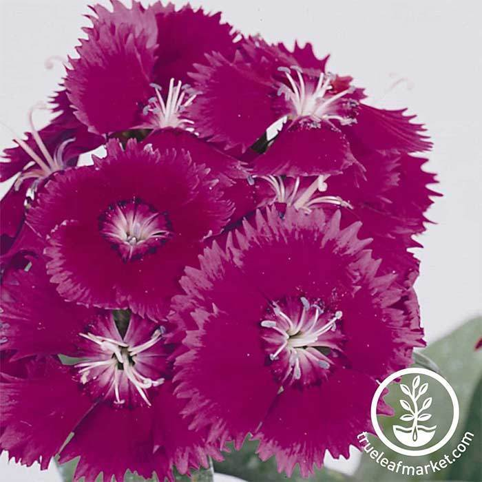 Dianthus Floral Lace Series Picotee Seed