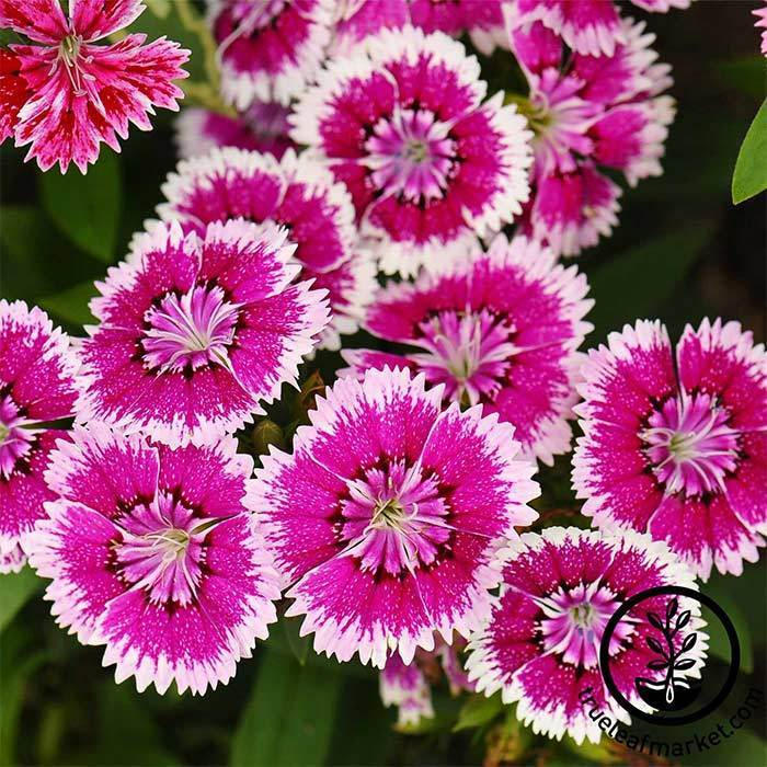 Dianthus Seeds - Floral Lace Series