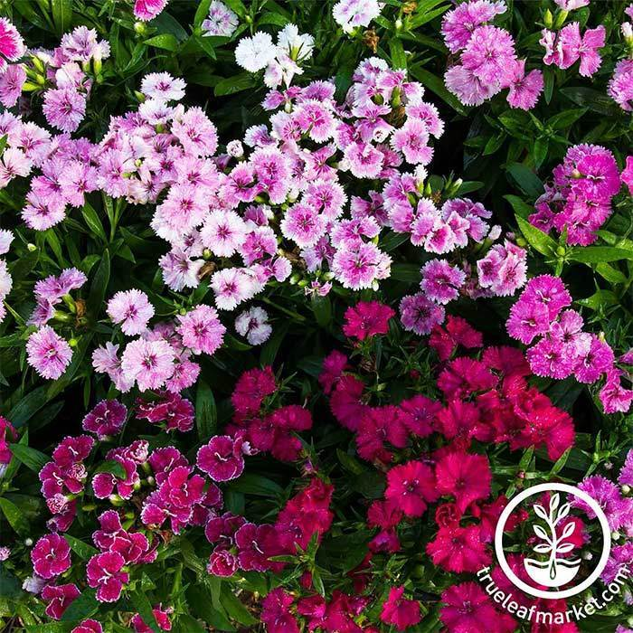 Dianthus Telstar Series Mix Seed