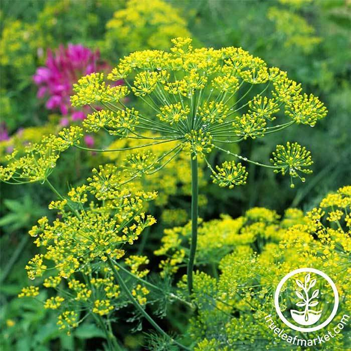 Anethum Graveolens Heirloom 35 seeds NON-GMO ship from Thai Dill Bouquet