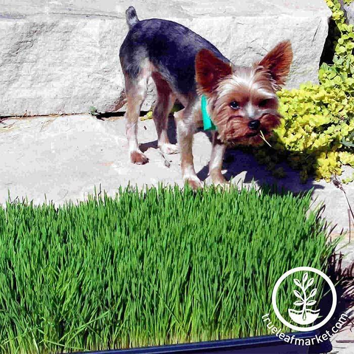 Ozzy Pawsborne Prints of Barkness caught red handed snacking on wheatgrass