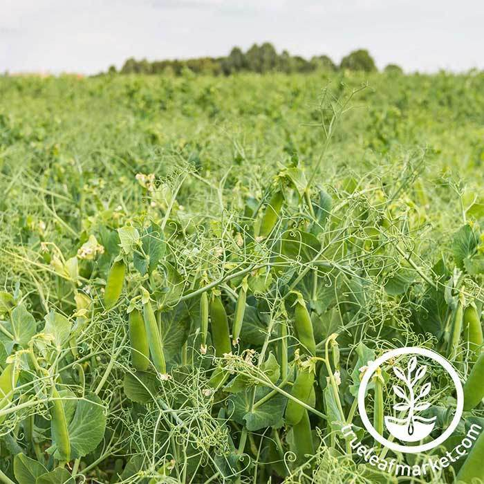 Dundale Pea Cover Crop Seed