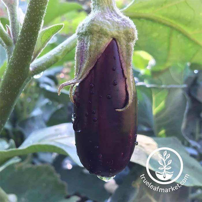 Eggplant Long Purple Seed