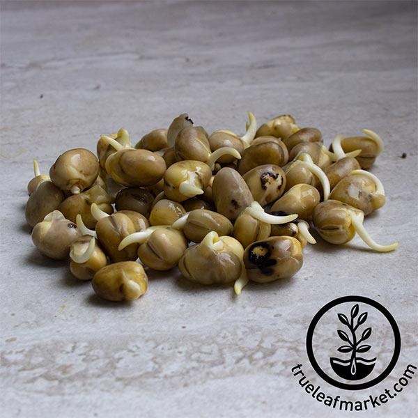 Bean Seeds - Fava - Sprouting (Organic)