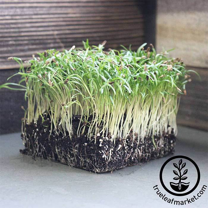 Fennel - Florence - Microgreens Seeds