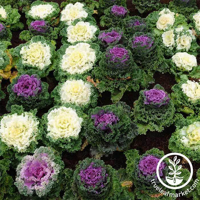 Flowering Kale Kamome Series Mix Seed