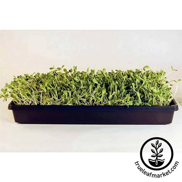 Tray of Sunflower Microgreens