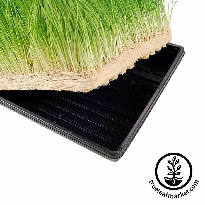 Grow Wheatgrass Without Soil!