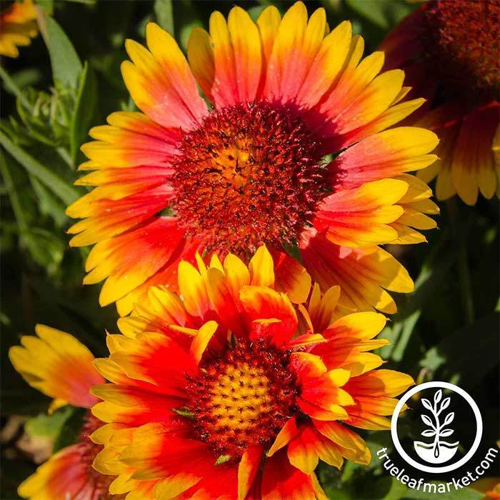 Gaillardia Indian Blanket Seed