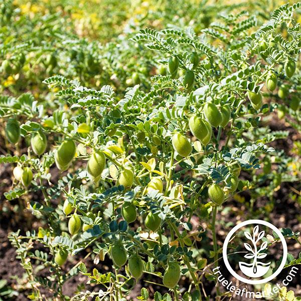 Garbanzo Bean - Organic - Cover Crop Seeds