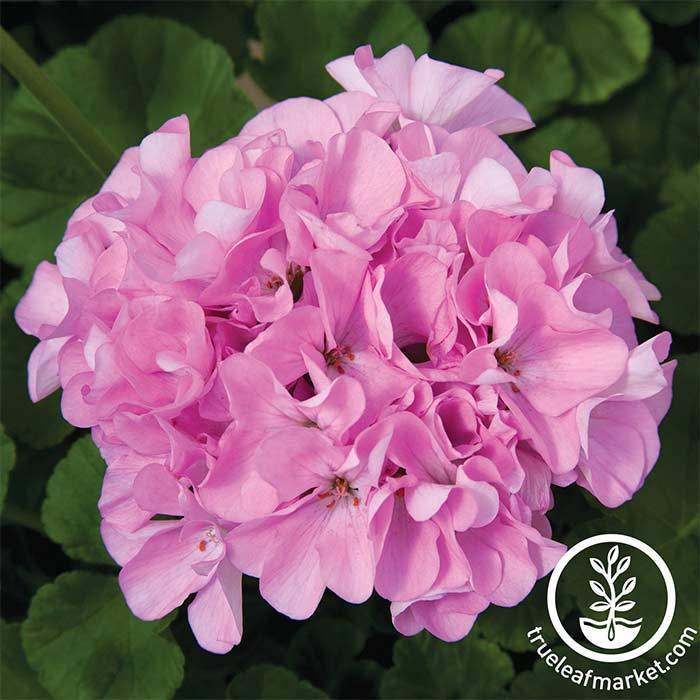 Geranium Maverick Series Quicksilver Seed
