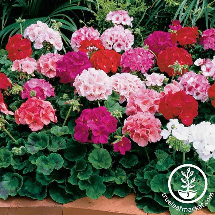 Geranium Maverick Series Mix Seed
