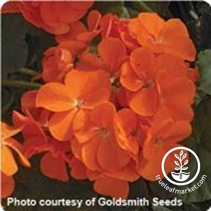 Geranium Maverick Series Orange Seed