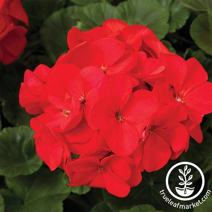 Geranium Maverick Series Red Seed