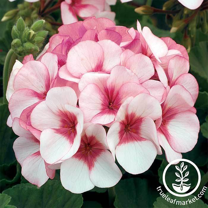 Geranium Maverick Series Star Seed