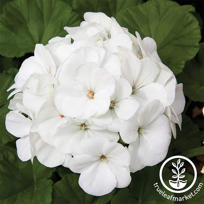 Geranium Maverick Series White Seed
