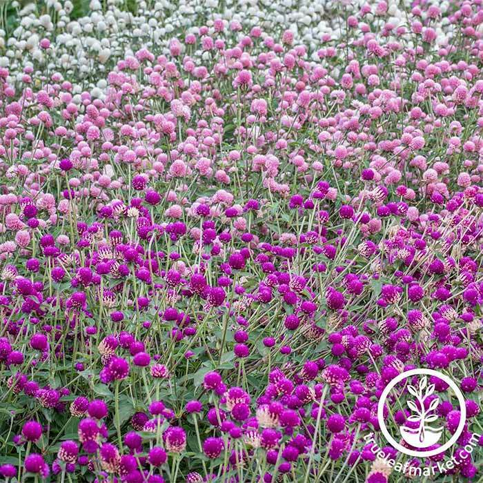 Gomphrena Gnome Series Mix Seed