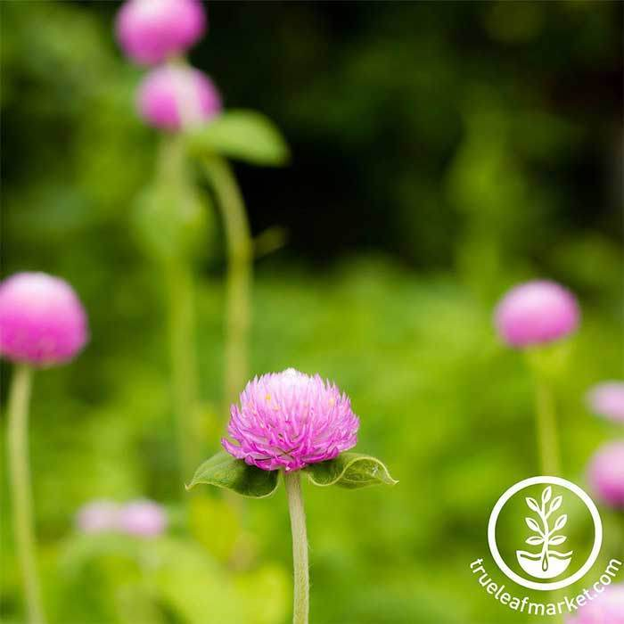 Gomphrena Gnome Series Pink Seed