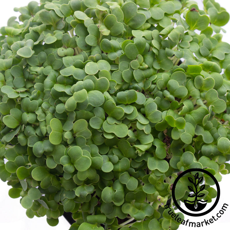 close up cabbage micro greens