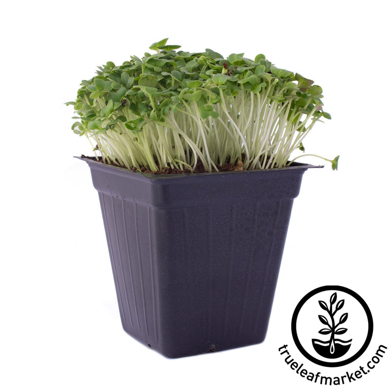 cabbage microgreens white background