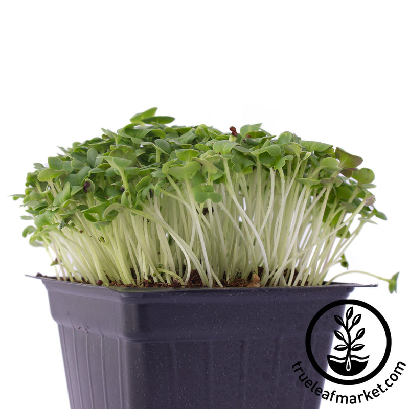 green cabbage microgreens