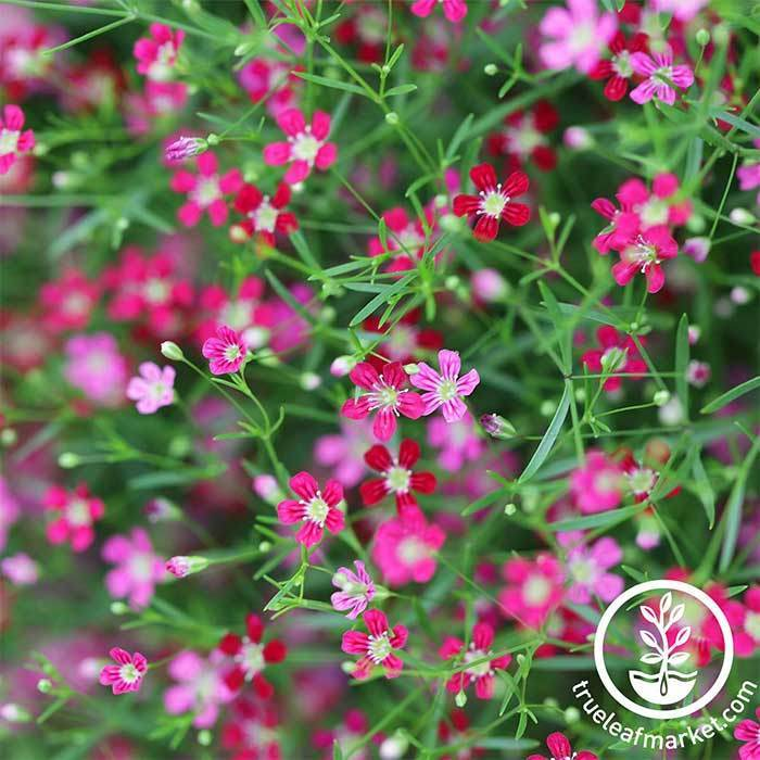 Gypsophila Gypsy Deep Rose Annual Seeds